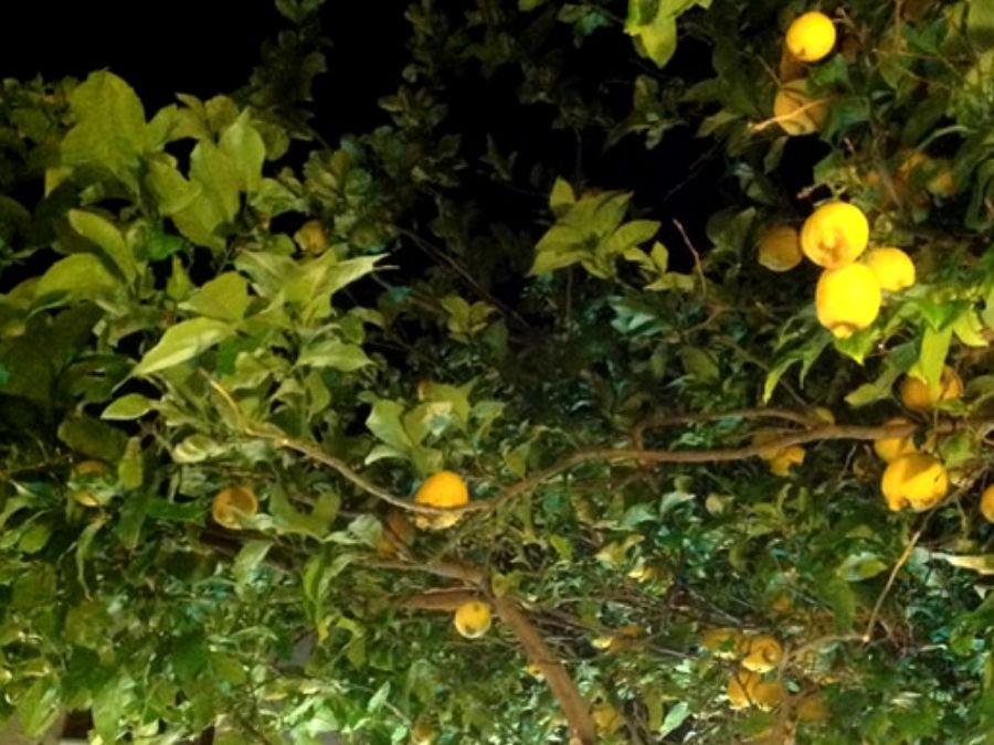 Limone centenario